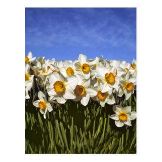 USA, Oregon, Willamette Valley. Daffodils grow Postcard