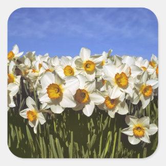 USA, Oregon, Willamette Valley. Daffodils grow Square Sticker
