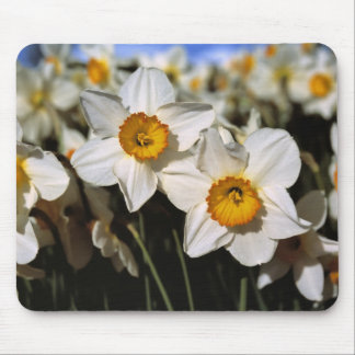 USA, Oregon, Willamette Valley. Daffodils Mouse Pad