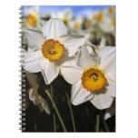 USA, Oregon, Willamette Valley. Daffodils Note Books