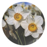 USA, Oregon, Willamette Valley. Daffodils Party Plates