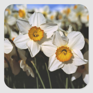 USA, Oregon, Willamette Valley. Daffodils Square Sticker