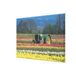 USA, Oregon, Woodburn, Wooden Shoe Tulip 2 Gallery Wrapped Canvas