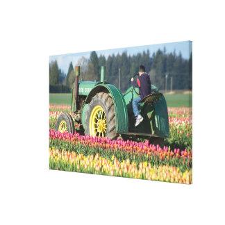 USA, Oregon, Woodburn, Wooden Shoe Tulip Canvas Print