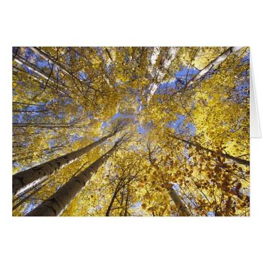 USA, Pacific Northwest. Aspen trees in autumn Cards
