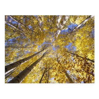 USA, Pacific Northwest. Aspen trees in autumn Postcard