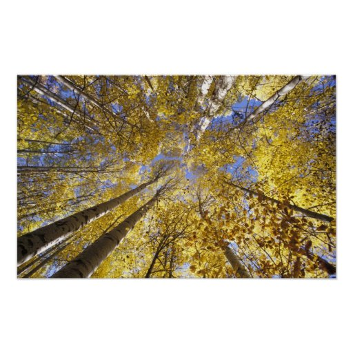 USA, Pacific Northwest. Aspen trees in autumn Poster