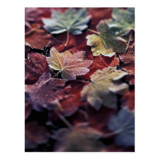 USA, Pacific Northwest. Japanese maple leaves Postcard