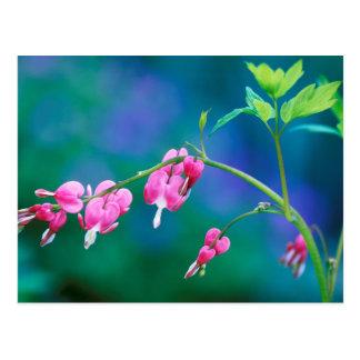 USA, Pennsylvania. Bleeding heart flowers Postcard