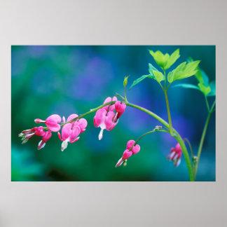 USA, Pennsylvania. Bleeding heart flowers Poster