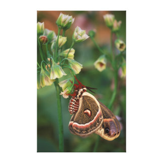 USA, Pennsylvania. Cecropia moth on allium Canvas Print