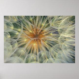 USA, Pennsylvania. Dandelion seedhead close-up Poster