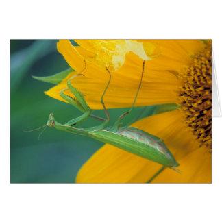 USA, Pennsylvania. Female praying mantis Card