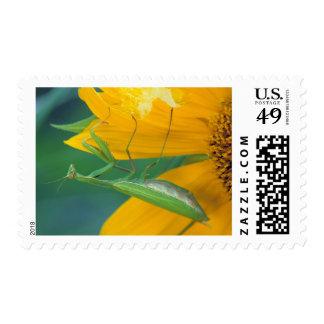 USA, Pennsylvania. Female praying mantis Postage Stamp