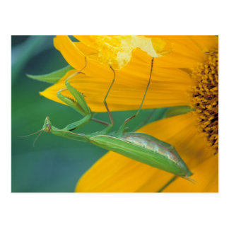 USA, Pennsylvania. Female praying mantis Postcard