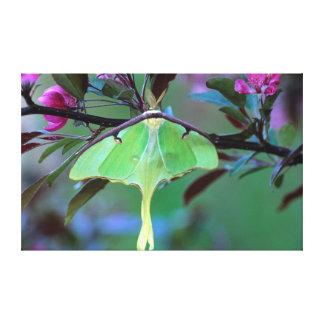 USA, Pennsylvania. Luna moth on cherry tree Canvas Print