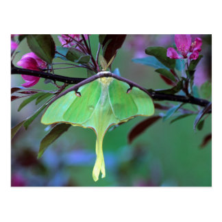 USA, Pennsylvania. Luna moth on cherry tree Postcard