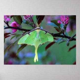 USA, Pennsylvania. Luna moth on cherry tree Poster