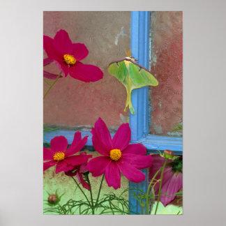 USA, Pennsylvania. Luna moth on old window Poster