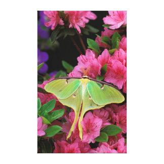 USA, Pennsylvania. Luna moth on pink clematis Canvas Print