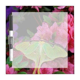 USA, Pennsylvania. Luna moth on pink clematis Dry-Erase Board