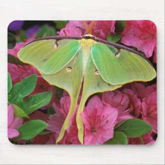 USA, Pennsylvania. Luna moth on pink clematis Mouse Pad