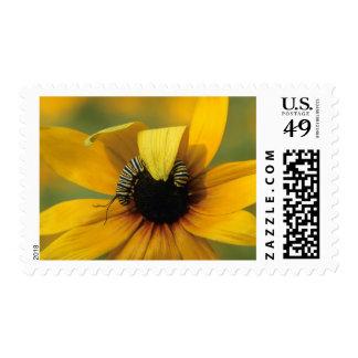 USA, Pennsylvania. Monarch caterpillar on daisy Stamp