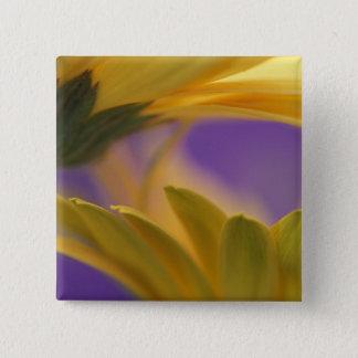 USA, Pennsylvania. Yellow Gerbera Daisies, close Button