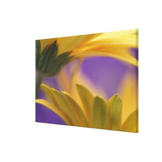 USA, Pennsylvania. Yellow Gerbera Daisies, close Canvas Print