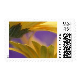 USA, Pennsylvania. Yellow Gerbera Daisies, close Postage