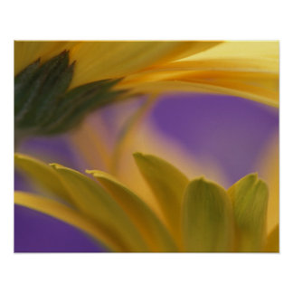 USA, Pennsylvania. Yellow Gerbera Daisies, close Poster