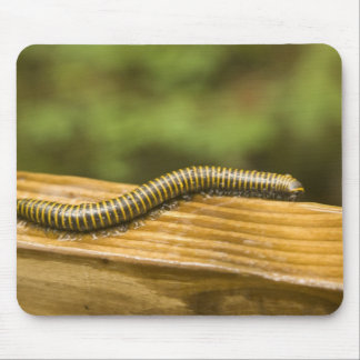 USA, Puerto Rico, Ponce. Millipede. Mouse Pads