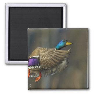 USA, Seattle, Washington. Male Mallard blasts 2 Inch Square Magnet