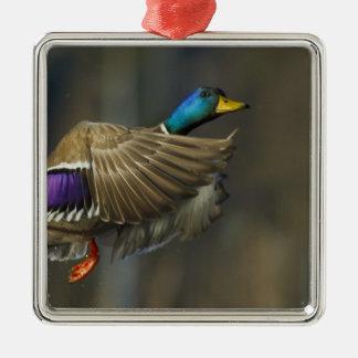 USA, Seattle, Washington. Male Mallard blasts Ornaments