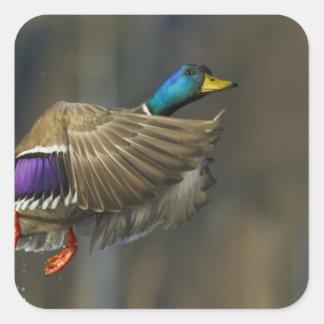 USA, Seattle, Washington. Male Mallard blasts Square Sticker
