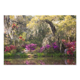 USA, South Carolina, Charleston. Cypress Trees 2 Photo Print
