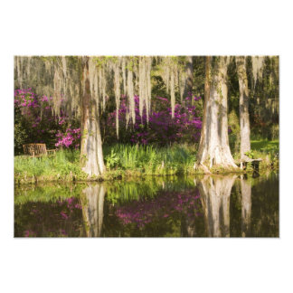 USA, South Carolina, Charleston. Cypress Trees Photo Print