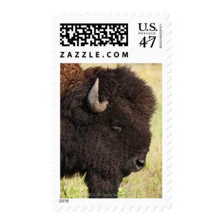 USA, South Dakota, American bison (Bison bison) 2 Postage Stamp