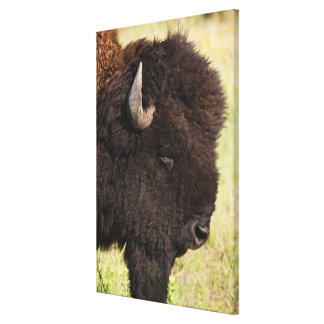 USA, South Dakota, American bison (Bison bison) Canvas Print