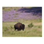 USA, South Dakota, American bison (Bison bison) Postcard