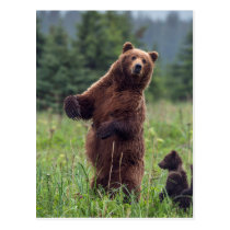 USA, Southeast Alaska, Brown Bear and cub Postcard