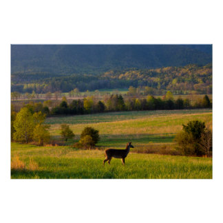 USA, Tennessee, Deer In A Pasture In Cades Cove Poster