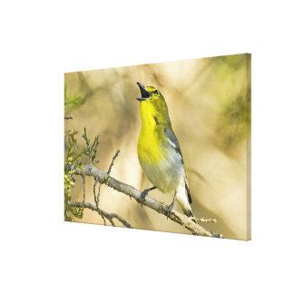 USA, Texas, Balcones Canyon NWR. Male Canvas Print