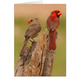 USA, Texas, Hidalgo County. Cardinal Pair Card