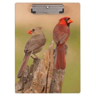USA, Texas, Hidalgo County. Cardinal Pair Clipboard