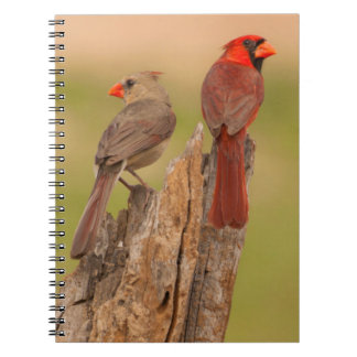 USA, Texas, Hidalgo County. Cardinal Pair Notebook
