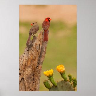 USA, Texas, Hidalgo County. Cardinal Pair Poster