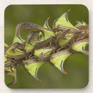 USA, Texas, Hidalgo County. Close-up of thorn Coaster