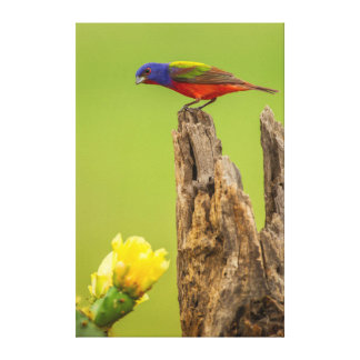 USA, Texas, Hidalgo County. Male Painted Bunting Canvas Print