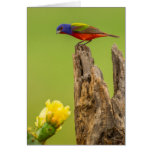 USA, Texas, Hidalgo County. Male Painted Bunting Greeting Card